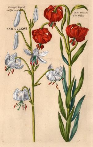 """De Bry: Lilies. 1611. A hand coloured original antique copper engraving. 8"""" x 12"""". [FLORAp1953]"""