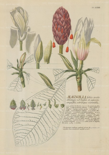 "Ehret: Magnolia. 1765. An original colour antique copper engraving. 12"" x 18"". [FLORAp1279]"