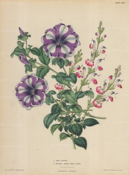 Madame Henry Jacotot petunia and Salvia tricolor.