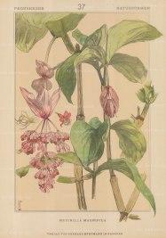 "Vellmer: Medinilla Magnifica. c1890. An original antique chromolithograph. 14"" x 20"". [FLORAp2212]"