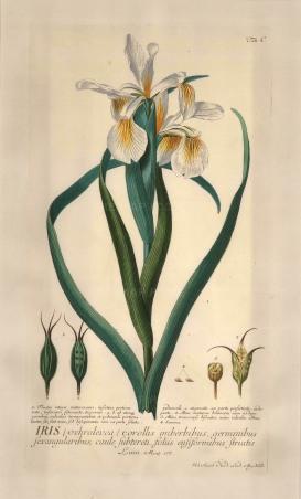 "Ehret: Iris. 1773. An original hand coloured antique copper engraving. 11"" x 18"". [FLORAp2260]"