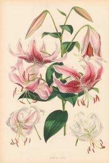 Lily: Lilium Speciosum.