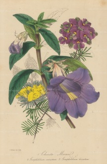 Chirita Mooniil, Gompholobium Venustum & Hirsutum