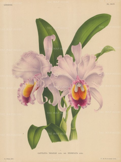 "Linden: Cattleya Trianae. 1897. An original antique chromolithograph. 10"" x 13"". [FLORAp2779]"