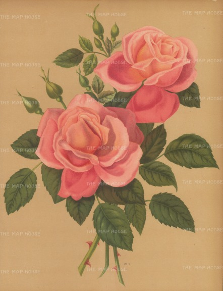 "Harriot: Roses. 1904. An original antique chromolithograph. 9"" x 12"". [FLORAp2974]"