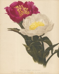 SOLD. Peonies: Margaret Attwood and the Mikado. After Henry Moon.