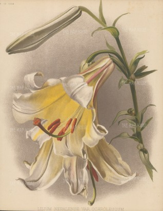Nepalese Lily: After Henry Moon.