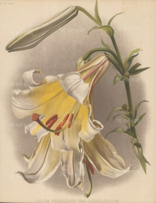 Yellowish White Nepalese Lily. After Henry Moon.