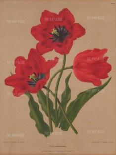 Didier's Tulip: Tulip gesneriana.