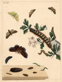 "Harris: Moths and Caterpillars. 1772. An original colour antique copper engraving. 10"" x 12"". [NATHISp5248]"