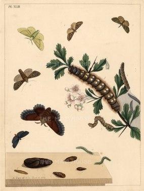 "Harris: Moths and Caterpillars. 1772. An original colour antique copper engraving. 10"" x 12"". [NATHISp5248]"