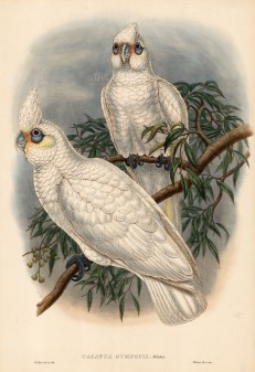Gould: Cockatoo c.1860. An original hand-coloured antique lithograph. 20 x 13 inches. [NATHISp5544] SOLD