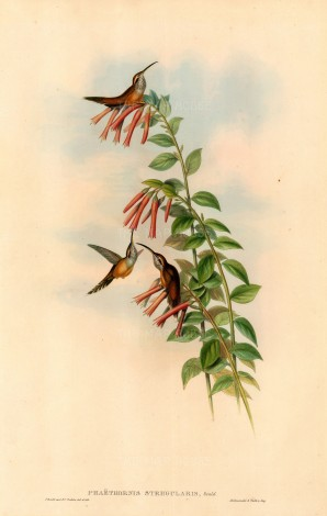 Gould: Hummingbirds. c.1850. An original hand-coloured antique lithograph. 20 x 13 inches. [NATHISp5588]