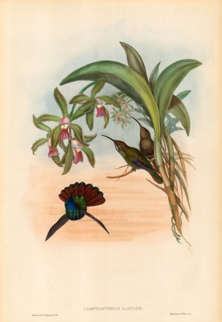 Gould: Hummingbirds. c.1850. An original hand-coloured antique lithograph. 20 x 13 inches. [NATHISp5592]
