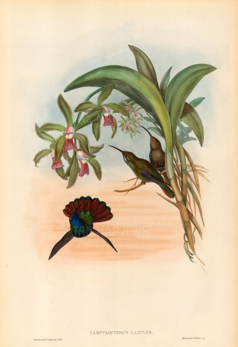 "Gould: Hummingbirds. c1850. An original hand coloured antique lithograph. 13"" x 20"". [NATHISp5592]"