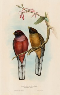 Gould: Trogons. c.1850. An original hand-coloured antique lithograph. 20 x 13 inches. [NATHISp5668]