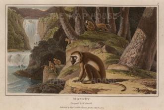 Daniell: Monkey. 1807. An original antique aquatint. 8 x 5 SOLD