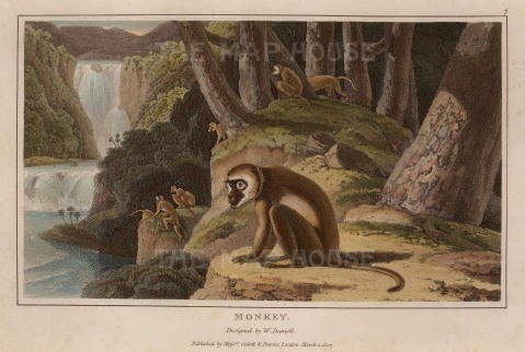 Daniell: Monkey. 1807. An original antique aquatint. 8 x 5 SOLD