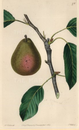 Withers: Pear. 1830. A hand-coloured original antique steel-engraving. 5 x 8 inches. [NATHISp6720]