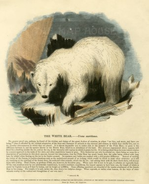 "The Society for the Diffusion of Useful Knowledge. 'The White Bear - Ursus Maritumus', c.1860. A hand-coloured original wood-engraving. 11"" x 13""."