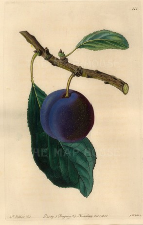 Withers: Plum. 1830. A hand-coloured original antique steel-engraving. 5 x 8 inches. [NATHISp6924]