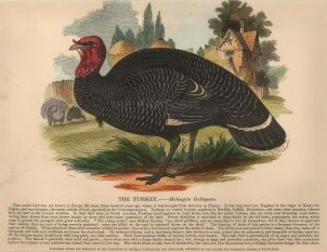 "The Society for the Diffusion of Useful Knowledge, 'The Turkey', c.1860. A hand-coloured original wood-engraving. 13"" x 11"