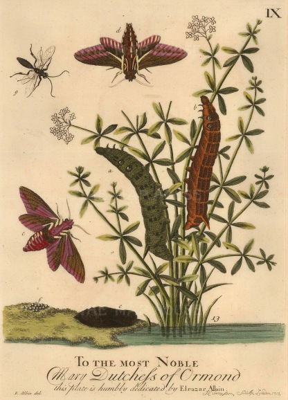 """Albin: Caterpillar, bug and butterfly. 1749. An original hand-coloured copper-engraving. 8"""" x 10"""". SOLD"""