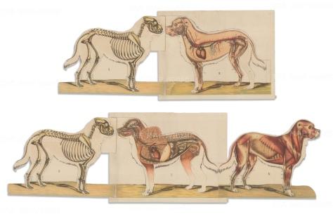 Anon: St Bernard Fold out Canine Anatomy. c1892 An original colour antique lithograph. [NATHISp7041]
