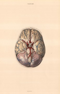 "Lizars: Brain dissection showing blood vessels. Plate LXIV. c.1822. An original colour antique steel engraving. 10"" x 17"". [NATHISp7077]"