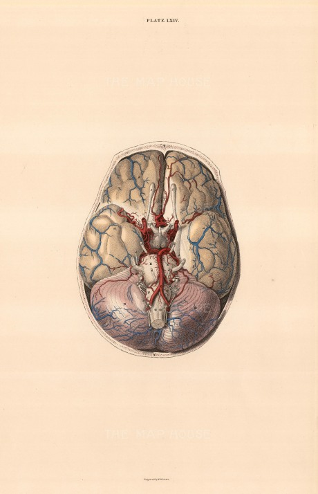 "William Home Lizars, Brain dissection showing blood vessels. Plate LXIV. c.1822. An original colour steel-engraving. 10"" x 17"". £POA."