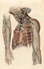 """Lizars: Nerves and vessels of the arms and neck, plate XI. c.1822. An original colour steel-engraving. 10"""" x 17"""". £POA."""