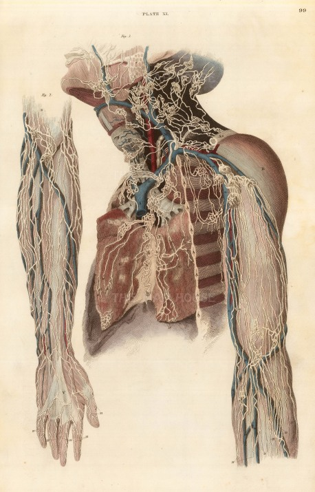 "Lizars: Nerves and vessels of the arms and neck, plate XI. c.1822. An original colour steel-engraving. 10"" x 17"". £POA."