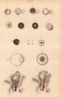 Eye: Sixteen details of the muscles, appendages, humours, coats, arteries, veins of the eye and orbit. Plate LXXXI.