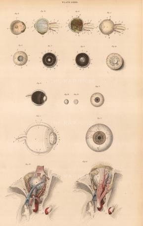 "Lizars: Eye. c.1822. An original colour antique steel engraving. 10"" x 17. [NATHISp7081]"