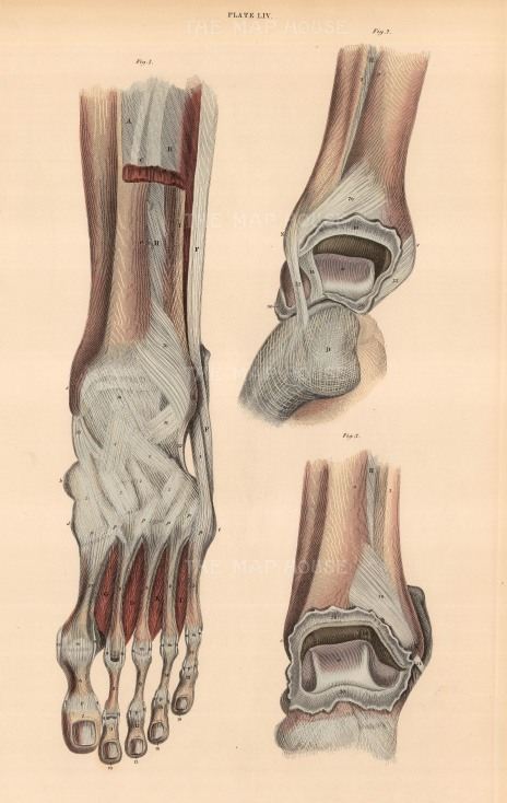 """Lizars: Foot and ankle, plate LIV. c1822. An original colour antique steel engraving. 10"""" x 17"""". [NATHISp7082]"""