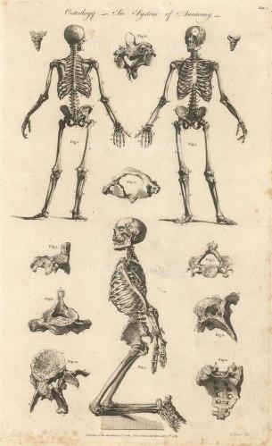 """Cooke: The Skeleton. 1789. An original antique copper engraving. 9"""" x 14"""". [NATHISp7284]"""