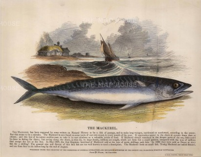 The Society for the Promotion of Christian Knowledge: Mackerel. circa 1860. A hand-coloured original antique wood-engraving. 12 x 10 inches. [NATHISp5617]