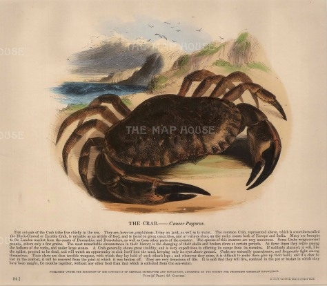 The Society for the Promotion of Christian Knowledge: Crab. c.1860. A hand-coloured original antique wood-engraving. 12 x 10 inches. [NATHISp5871]