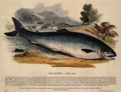 The Society for the Promotion of Christian Knowledge: Salmon. c.1860. A hand-coloured original antique wood-engraving. 13 x 11 inches. [NATHISp6612]
