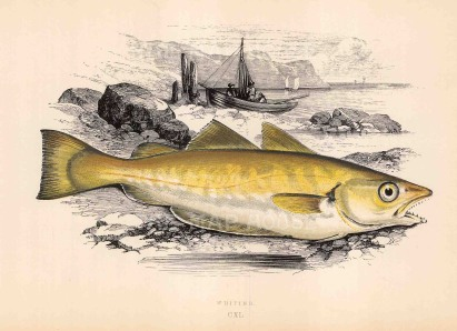Anon: Whiting. Circa 1880. An original hand-coloured antique wood-engraving. 8 x 6 inches. [NATHISp7100]