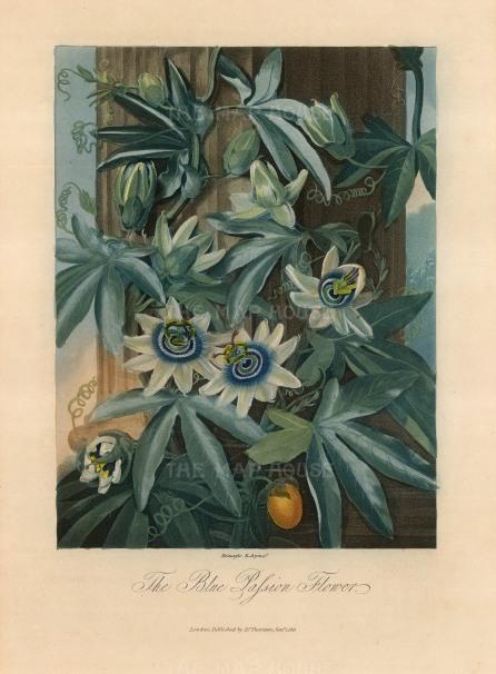 "Dr Robert Thornton, 'Passion Flower', 1812. An original colour mixed-method engraving. 8"" x 10"". £POA"