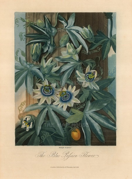 "Dr Robert Thornton, 'Passion Flower', 1812. An original colour mixed-method engraving. 8"" x 10"". £POA"