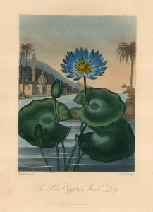 "Dr Robert Thornton, 'Blue Egyptian Water Lily', 1812. An original colour mixed-method engraving. 8"" x 10"". £POA"