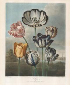 Tulips: La Triomphe, Louis XVI, Duchess of Devonshire, General Washington, Earl Spencer, La Majestieuse and Gloria Mundi set in a romanticised Dutch landscape complete with windmill.