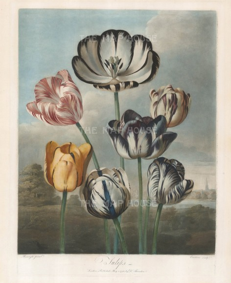 Tulips: La Triomphe, Louis XVI, Duchess of Devonshire, General Washington, Earl Spencer, La Majestieuse and Gloria Mundi set in a romanticised Dutch landscape complete with windmill.
