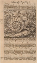 Andre Thevet: Samatian Sea Snail. 1575. An original antique black and white wood-cut. 8 x 12 inches. [NATHISp5432]
