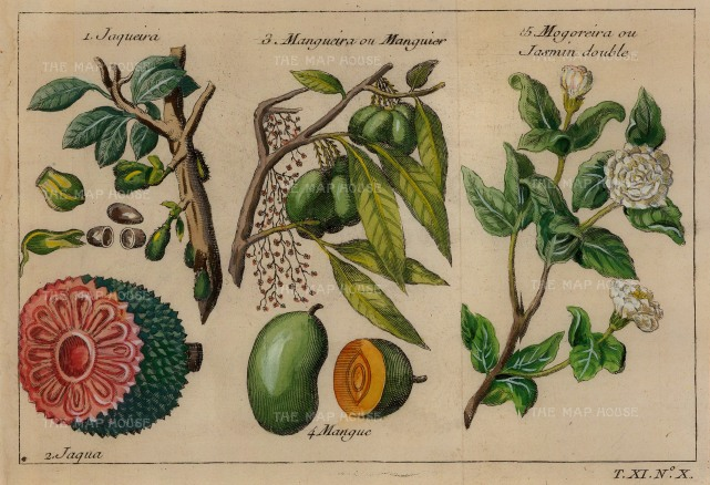 Bellin: Jackfruit, Mango and Jasmine. 1749. A hand-coloured original antique copper-engraving. 7 x 5 inches. [NATHISp6769]