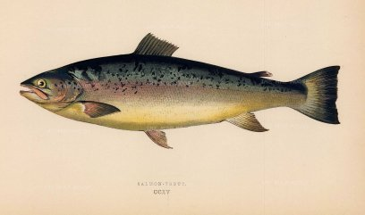 "Couch: Salmon Trout. 1878. An original antique chromolithograph. 9"" x 5"". [NATHISp7155]"
