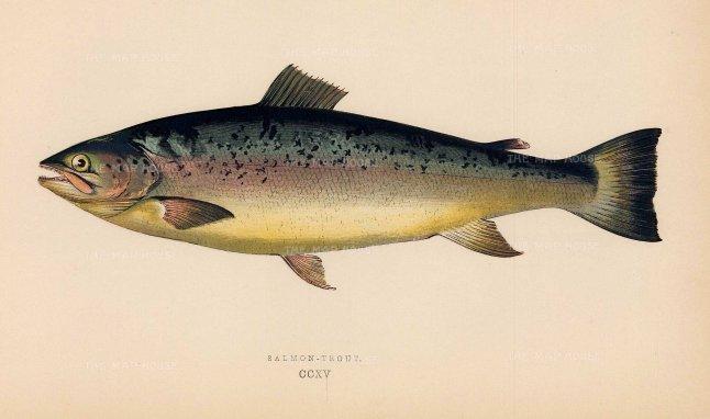 "Couch: Salmon Trout. 1878. An original antique chromolithograph. 9"" x 5"". [NATHISp7155]"