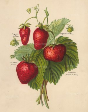 Wright: Strawberries. 1891. An original antique chromo-lithograph. 8 x 10 inches. [NATHISp7280]